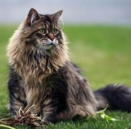 le-chat-main-coon