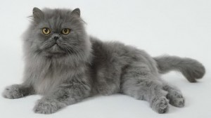 Le-chat-persan